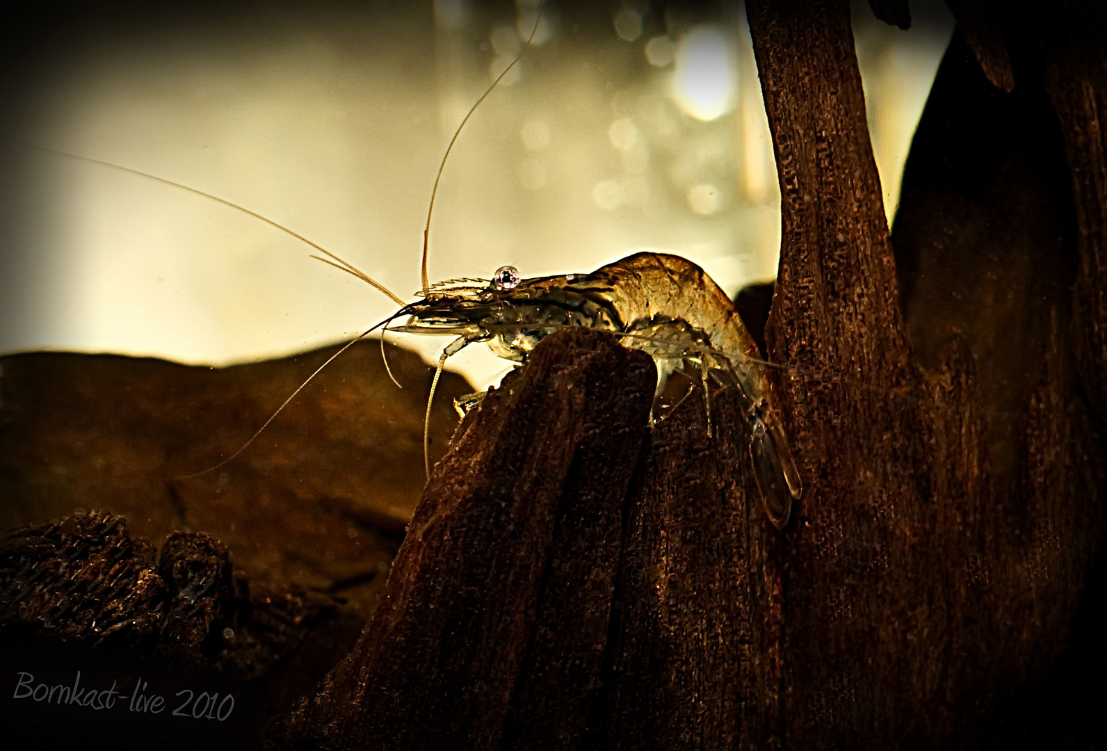Garnele auf der Jagd