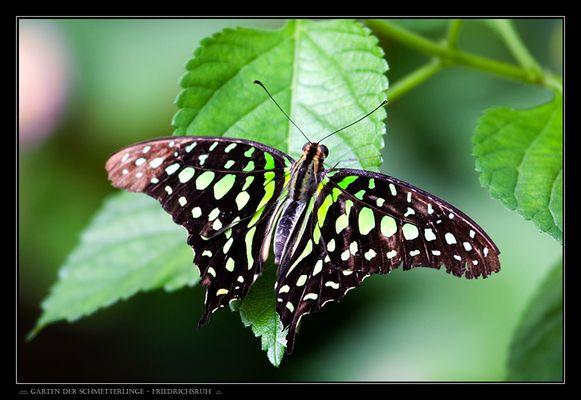 .::::. Garten der Schmetterlinge - Friedrichsruh .:::.