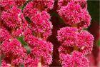 Garten Fuchsschwanz (Amaranthus caudatus)