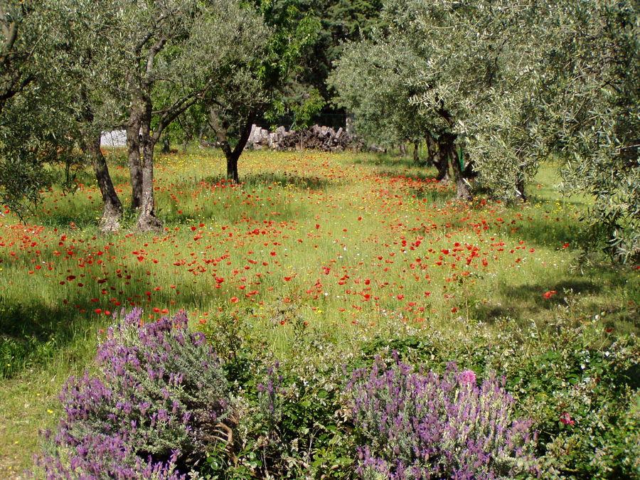 Garten Provence garten in der provence mit lavendel mohnblumen und olivenbäumen