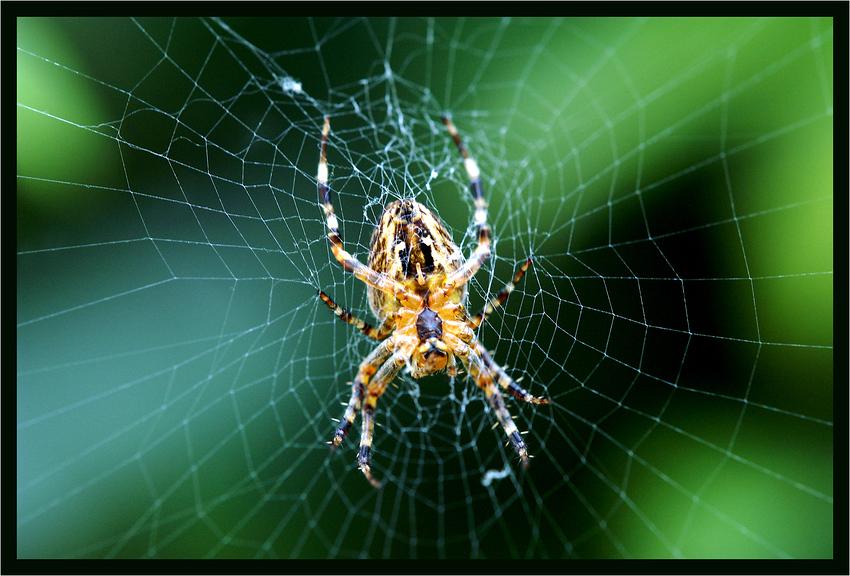 garten spinne foto bild tiere wildlife spinnen. Black Bedroom Furniture Sets. Home Design Ideas
