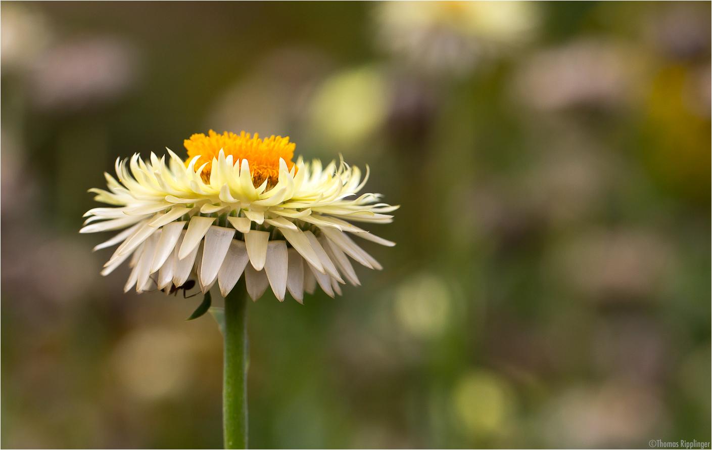 Garten-Strohblume (Helichrysum bracteatum).