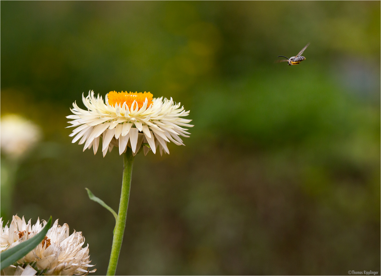 Garten-Strohblume (Helichrysum bracteatum).....