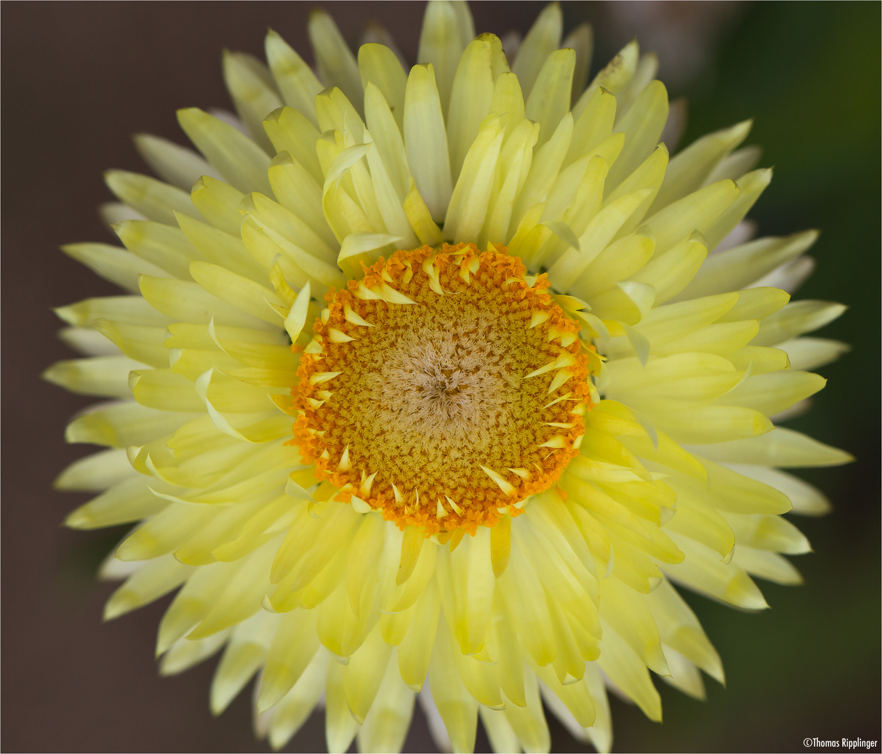 Garten-Strohblume (Helichrysum bracteatum).........