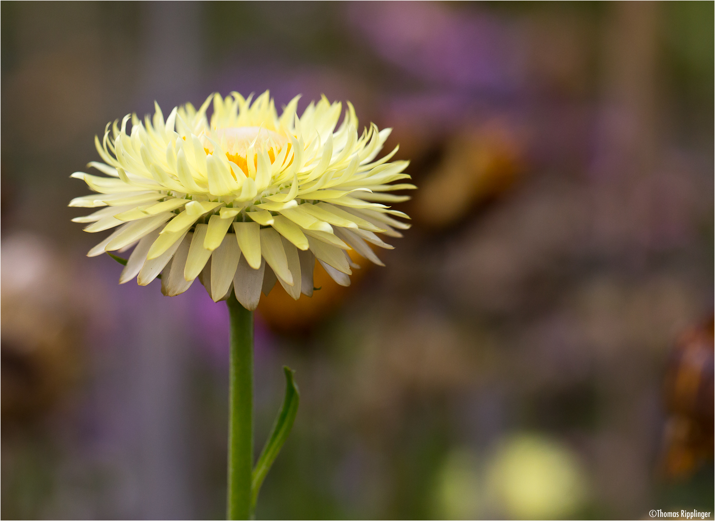Garten-Strohblume (Helichrysum bracteatum)....