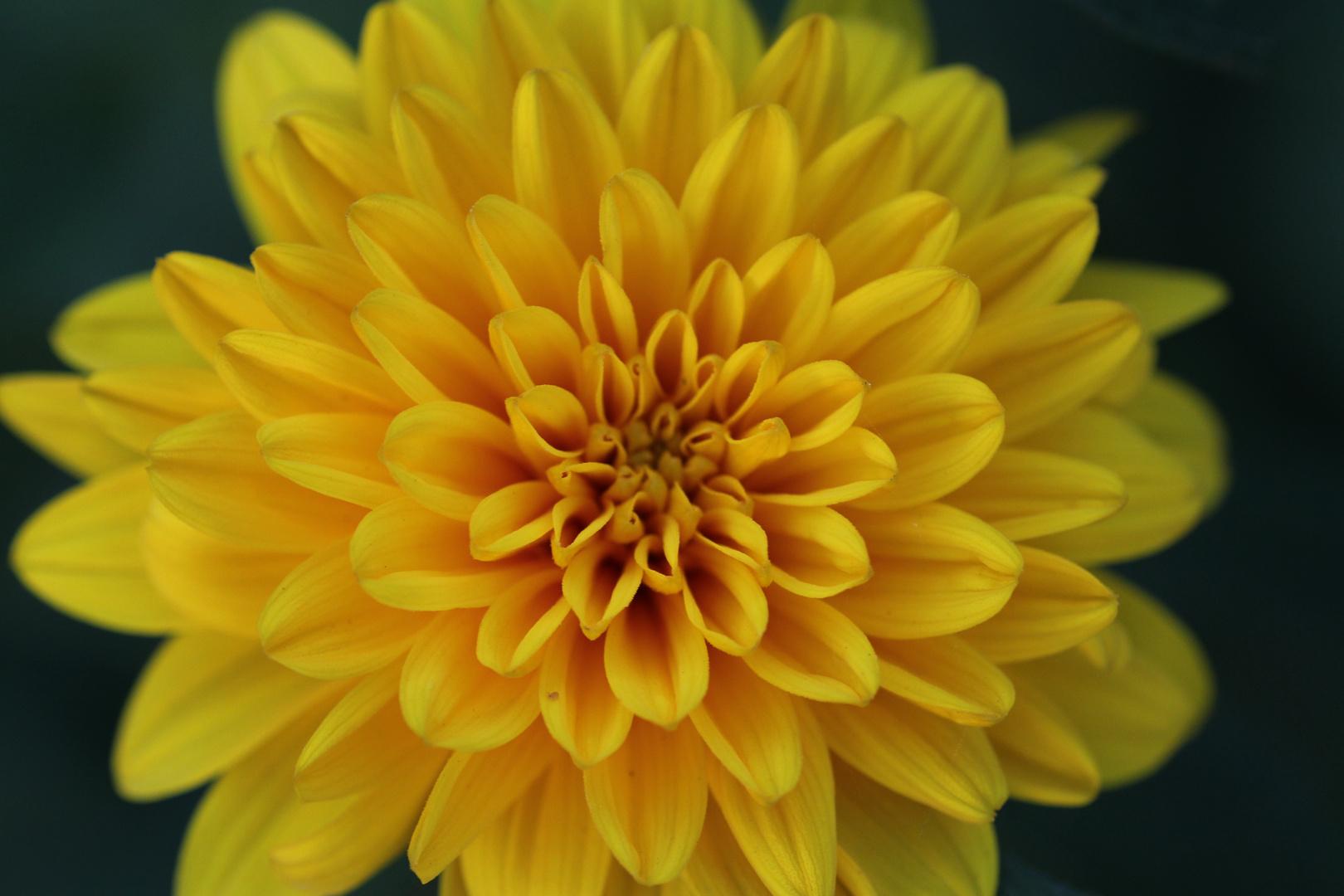 Gartenblume - Ganz nah