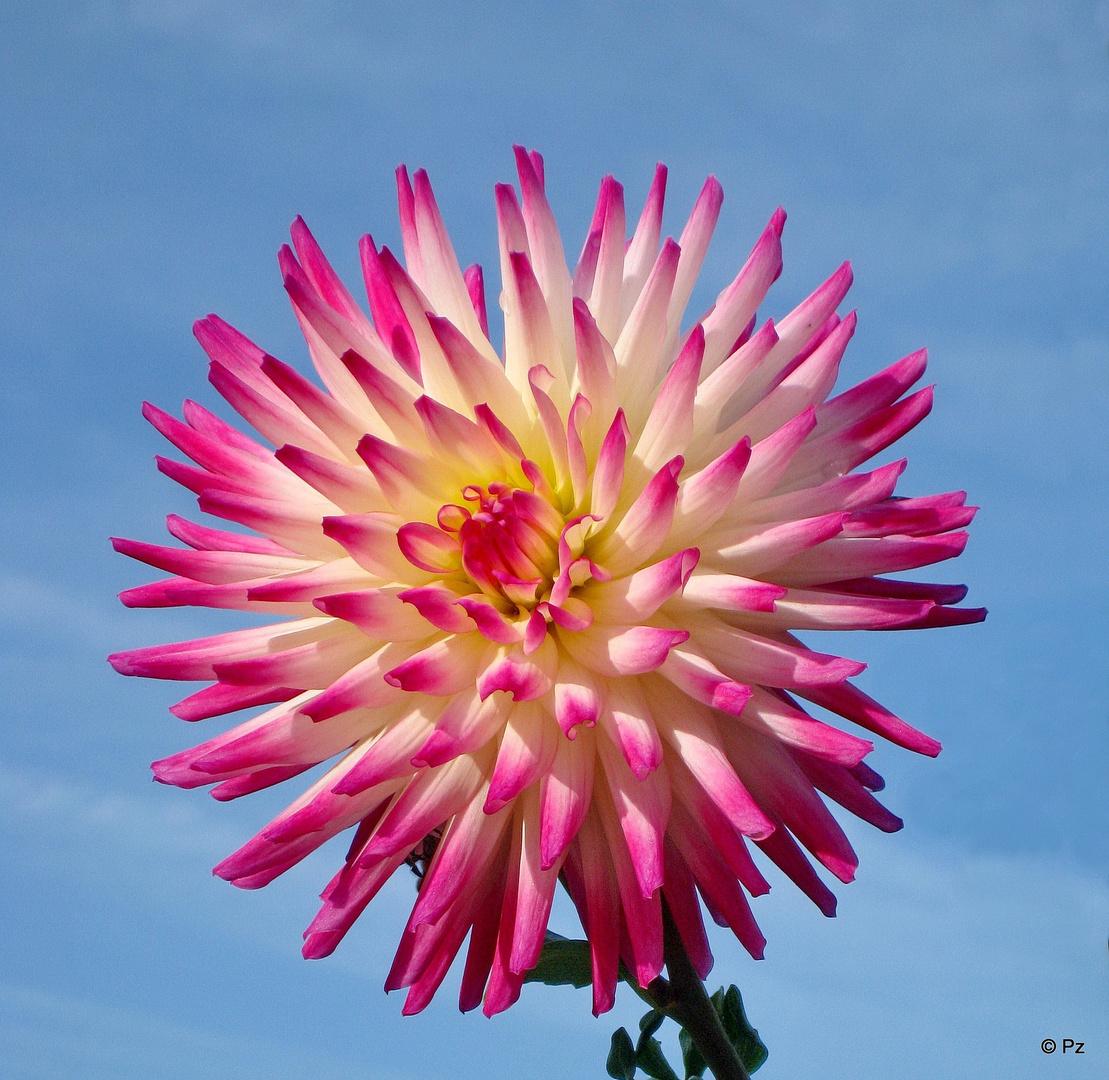 Gartendahlie mit ihrem Blütenkranz ...
