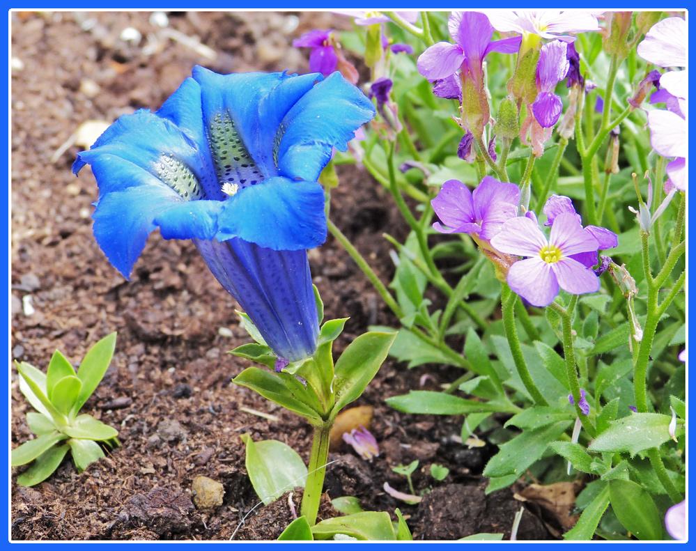 Gartenenzian
