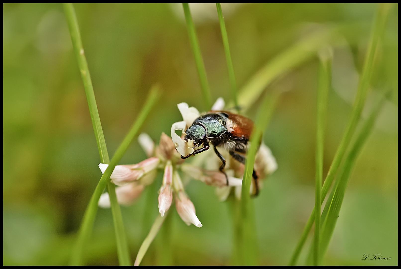 Gartenlaubkäfer, (Phyllopertha horticola)