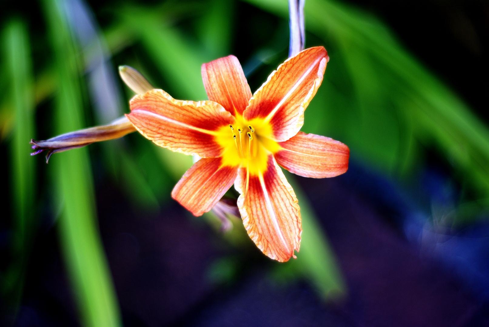 Gartenlilie