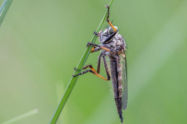 Gartenraubfliege