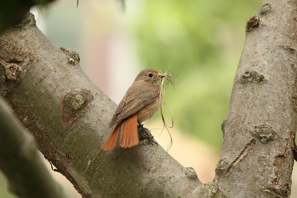 Gartenrotschwanz Weibchen beim Nestbau