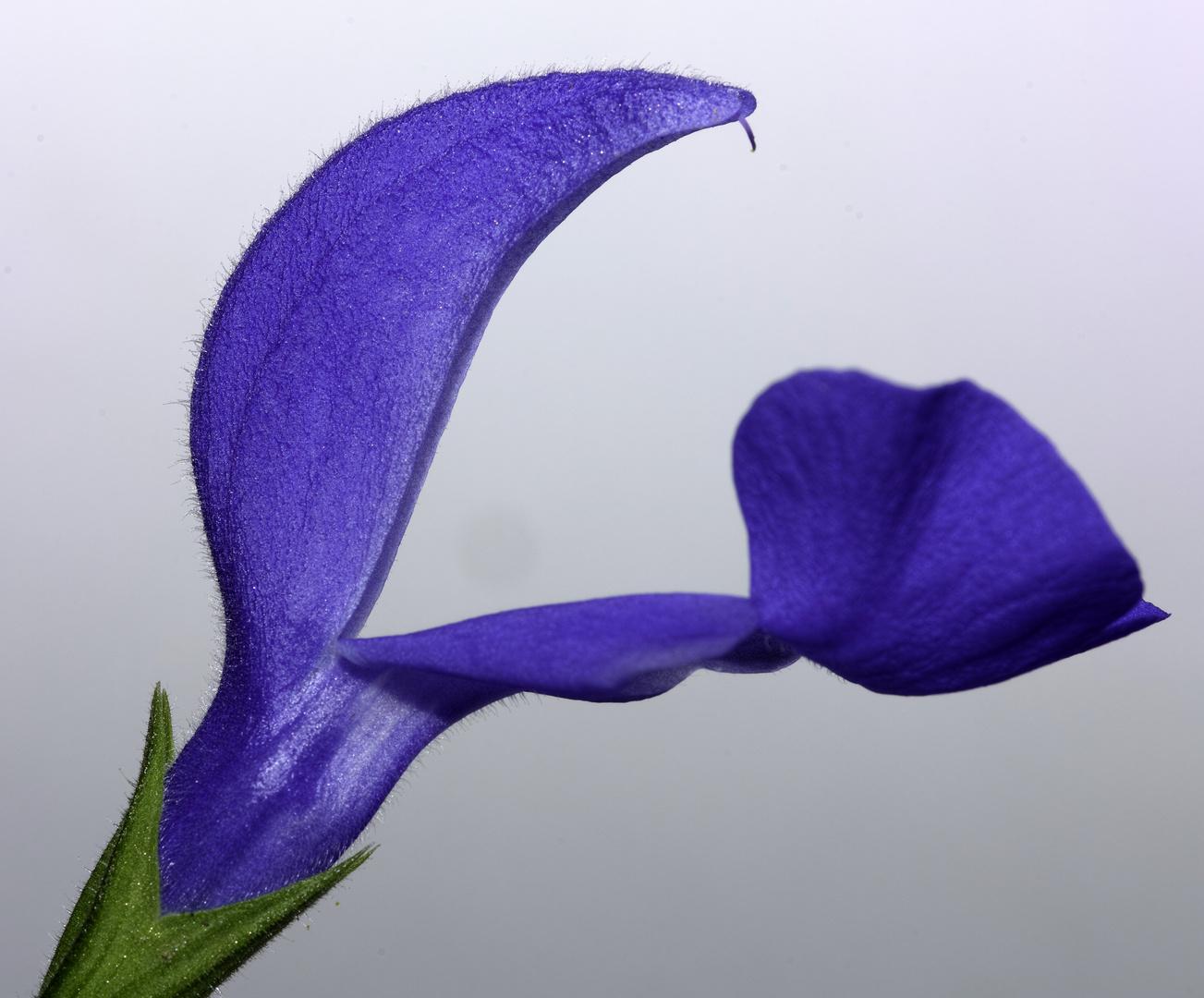 Gartensalbei