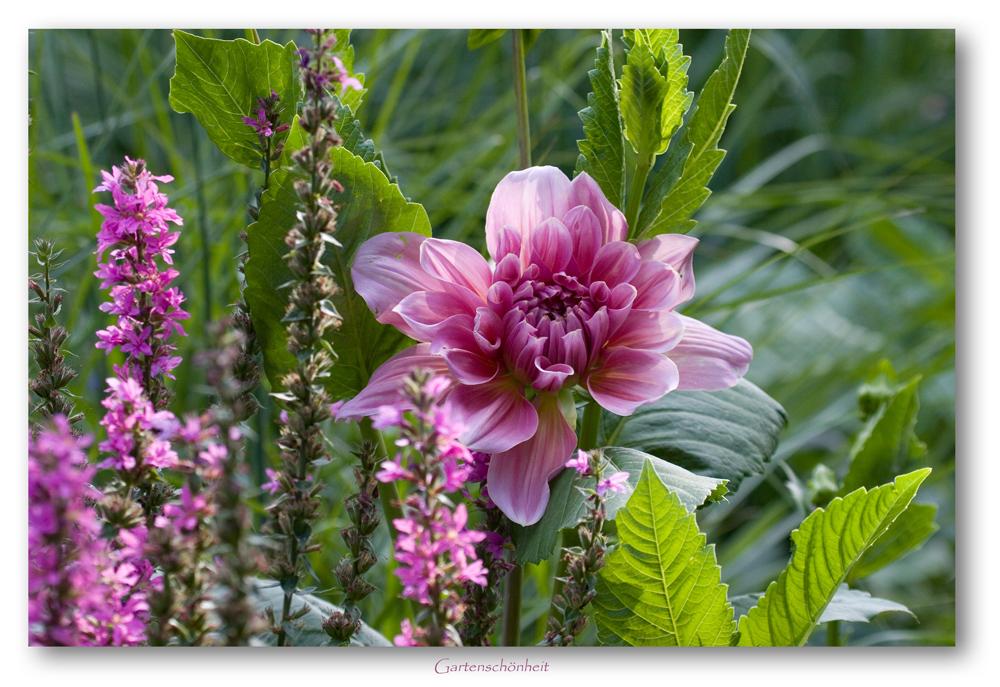 Gartenschönheit 1