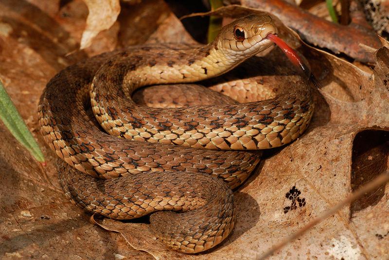 Garter Snake