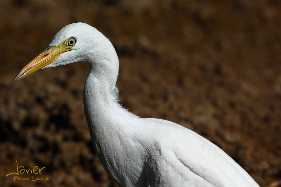Garza Blanca (Ardea alba)