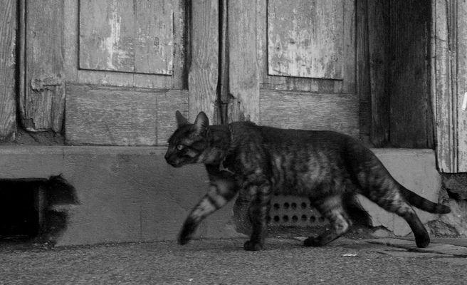 gato apurado