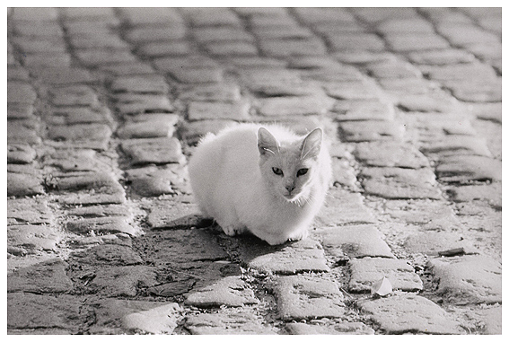 gato blanco.