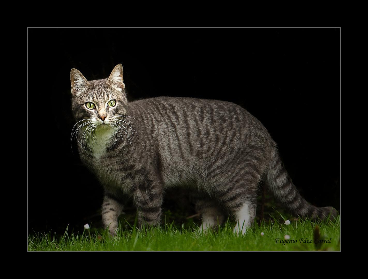 Gato campestre