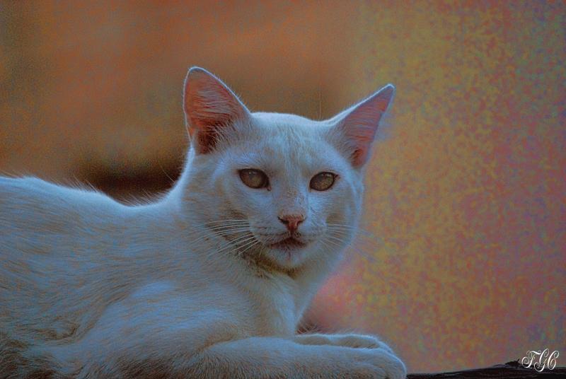 Gato Granadino2