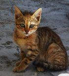 Gato isleño