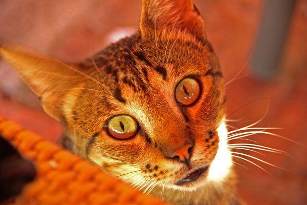 gato malageño