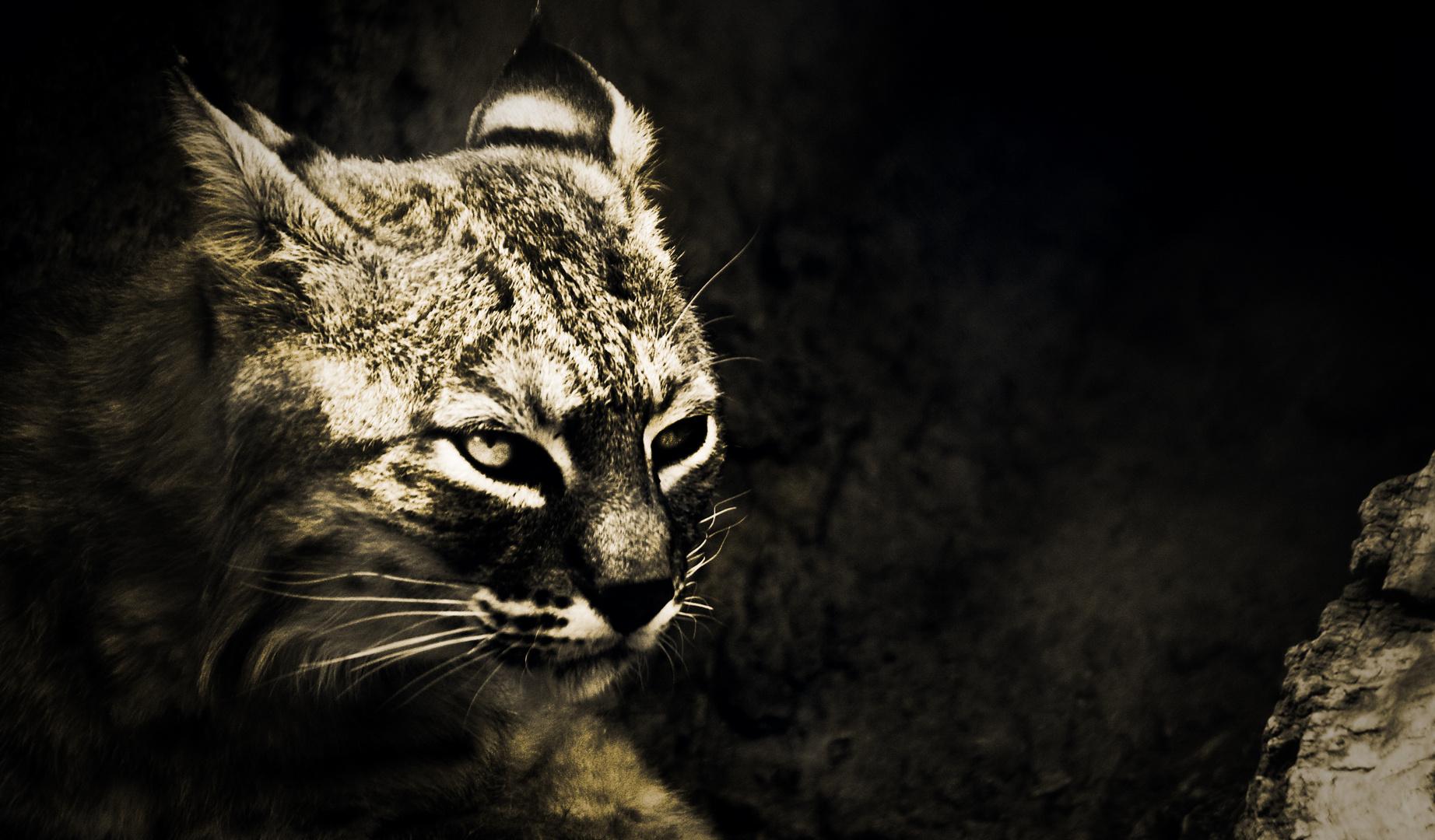 gato montezz