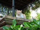 gato sevillano