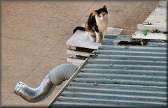 Gatta sul tetto di zinco caldo....She cat on a hot tin roof.