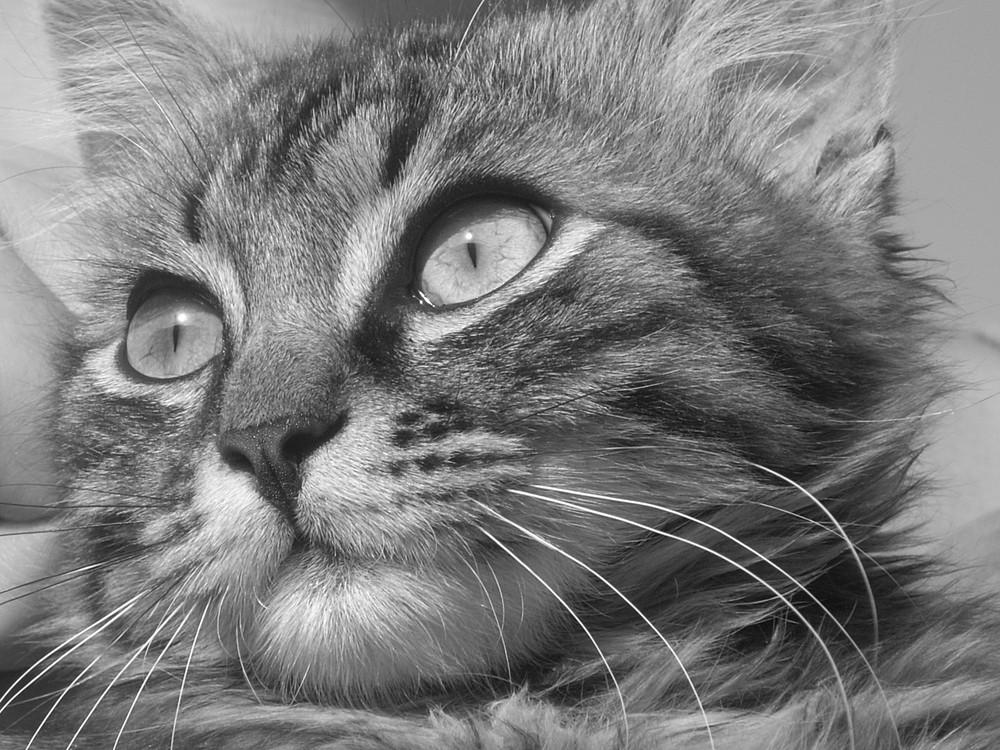 Gatto Pepito