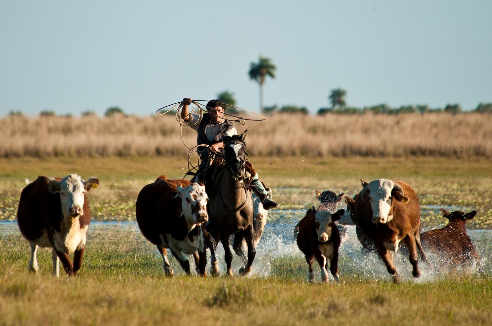 Gaucho beim Viehtrieb