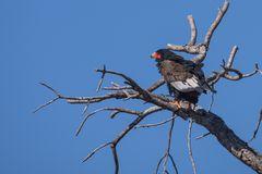 Gaukler (Bateleur eagle - Terathopius ecaudatus)