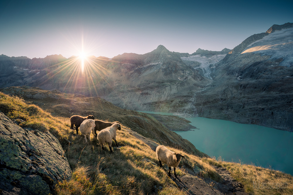 ~ Gauligletscher: Achtung Schafe ~