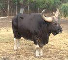 Gaur - Bos gaurus - Endangered