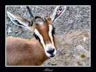 Gazella dorcas osiris