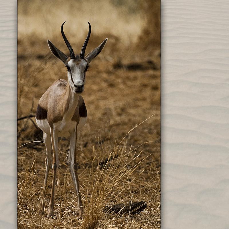 gazelle 1