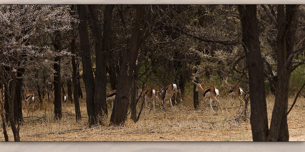 gazelle 7