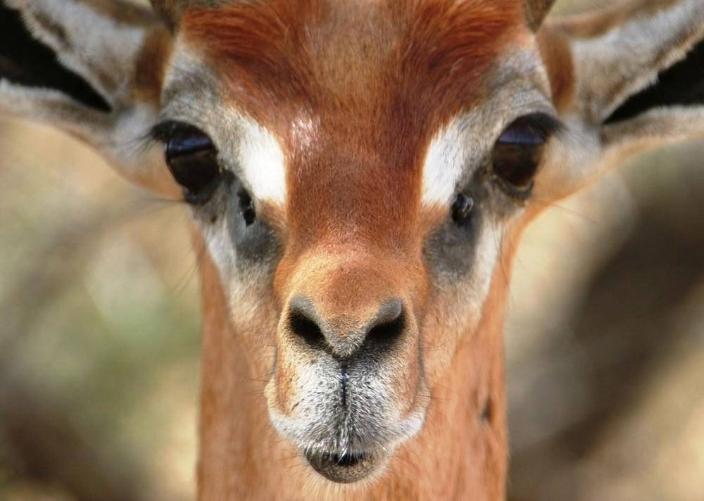 Gazelle-Girafe (Gerenuk) - Samburu / Kenya