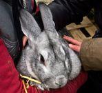 Géant des Flandres, un très joli lapin…