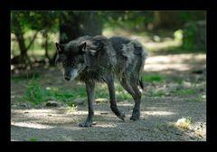 [ gebadeter Wolf ]