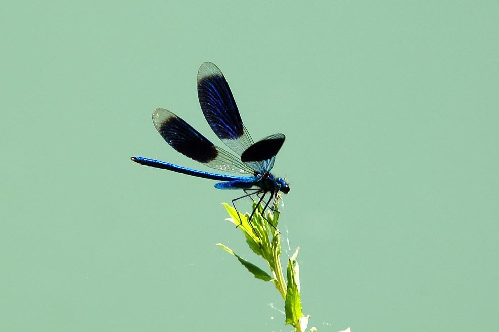 Gebänderte Blauflügel-Prachtlibelle