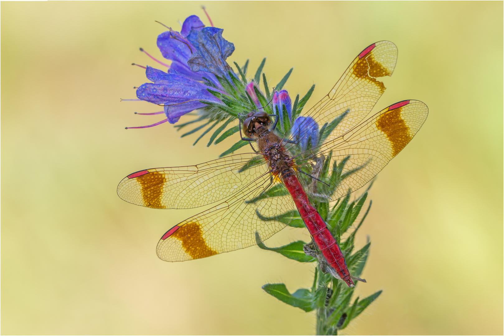 Gebänderte Heidelibelle (Sympetrum pedemontanum) M.