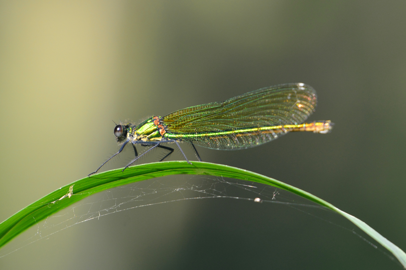 Gebänderte Prachtlibelle 1 fem. (Calopteryx splendens)