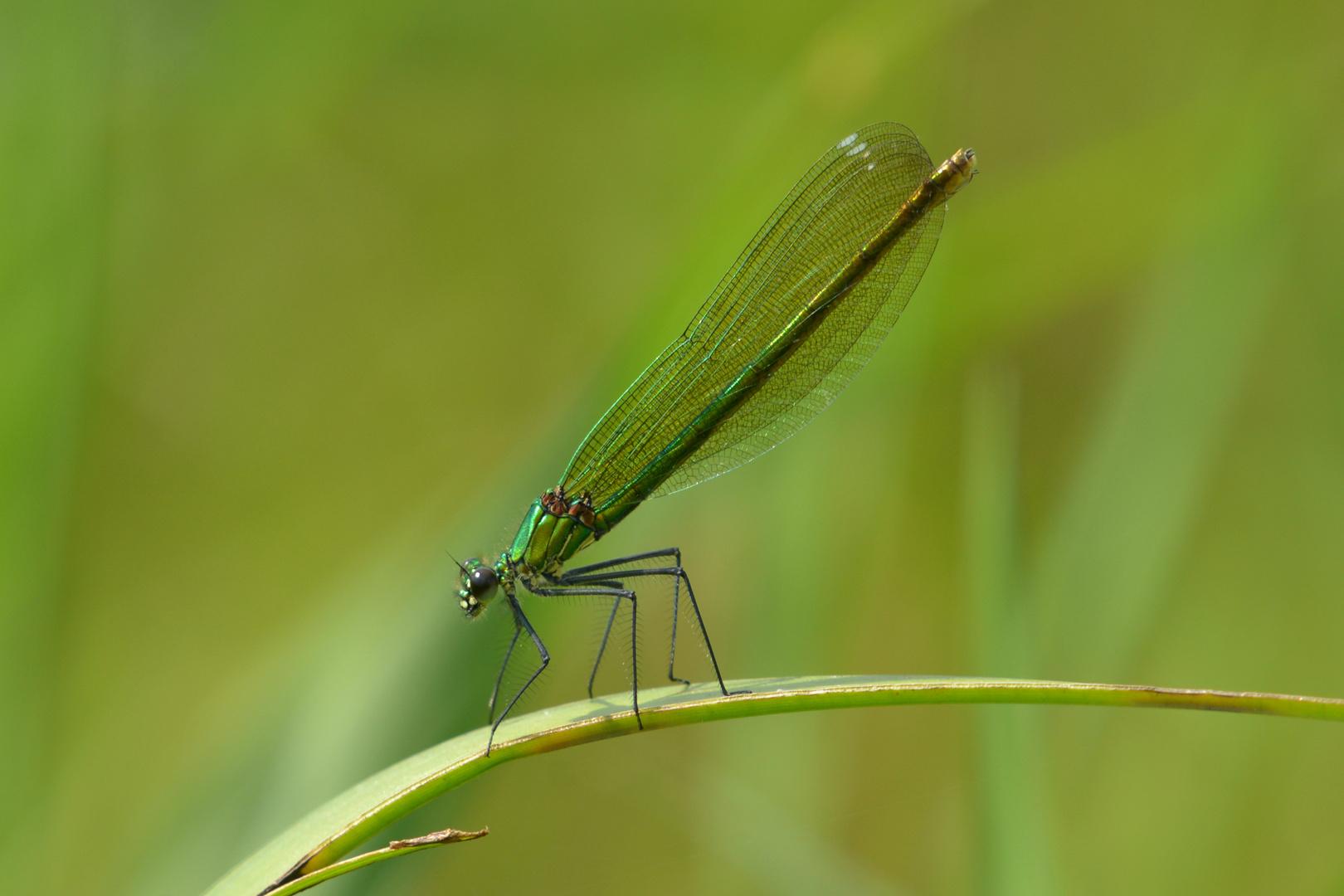 Gebänderte Prachtlibelle 2 fem. (Calopteryx splendens)
