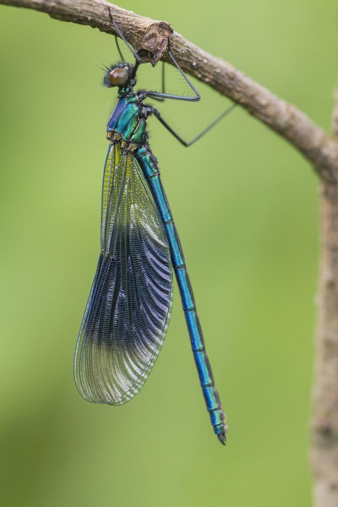 Gebänderte Prachtlibelle - Banded Demoiselle (Calopteryx splendens)