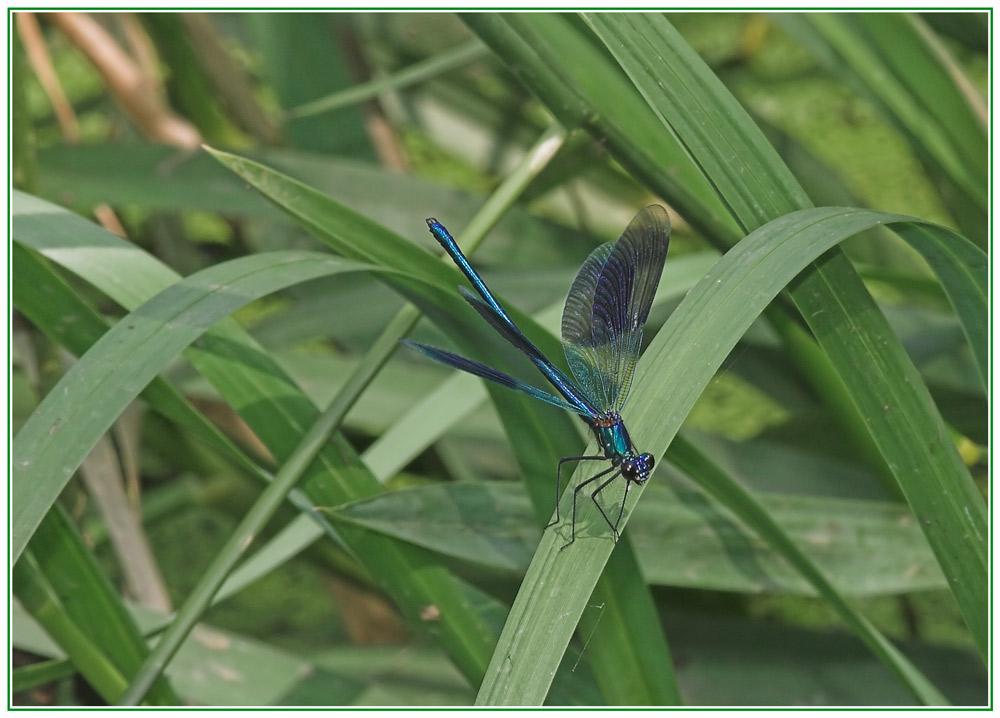 """gebänderte Prachtlibelle"" (Calopteryx splendens)"