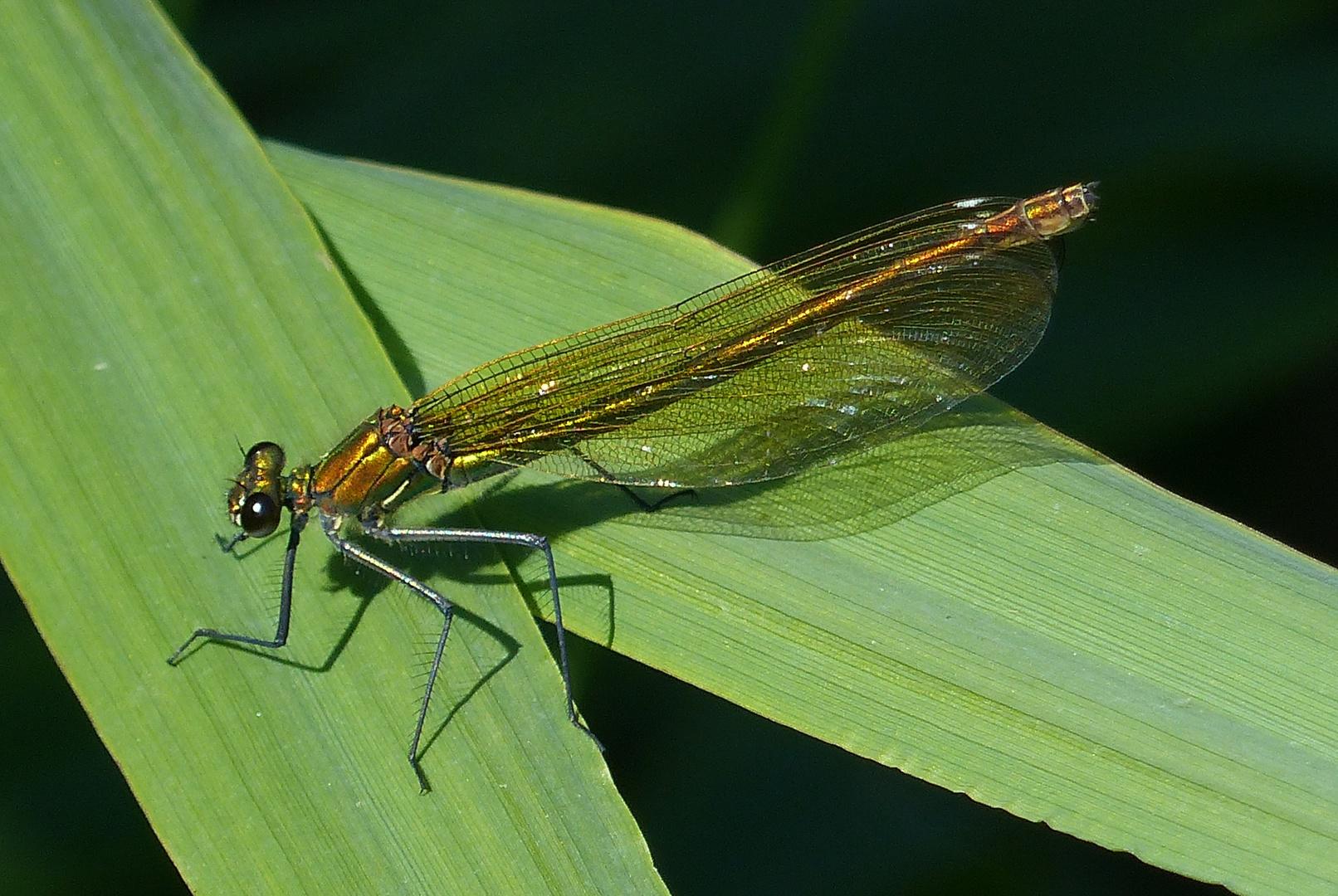 Gebänderte Prachtlibelle (Calopteryx splendens)