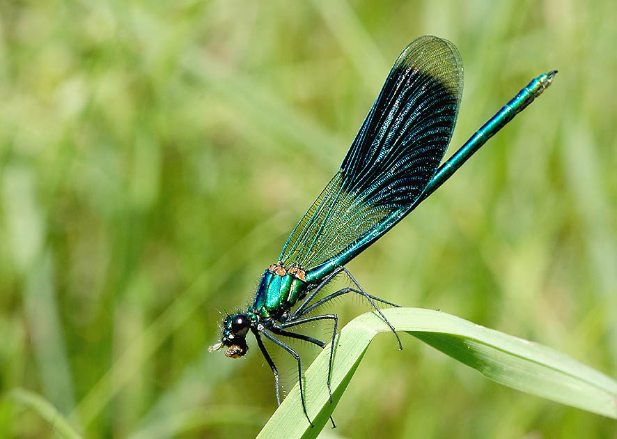 Gebänderte Prachtlibelle - - Calopteryx splendens