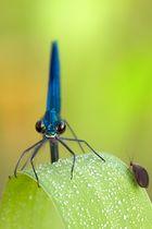 Gebänderte Prachtlibelle Calopteryx splendens