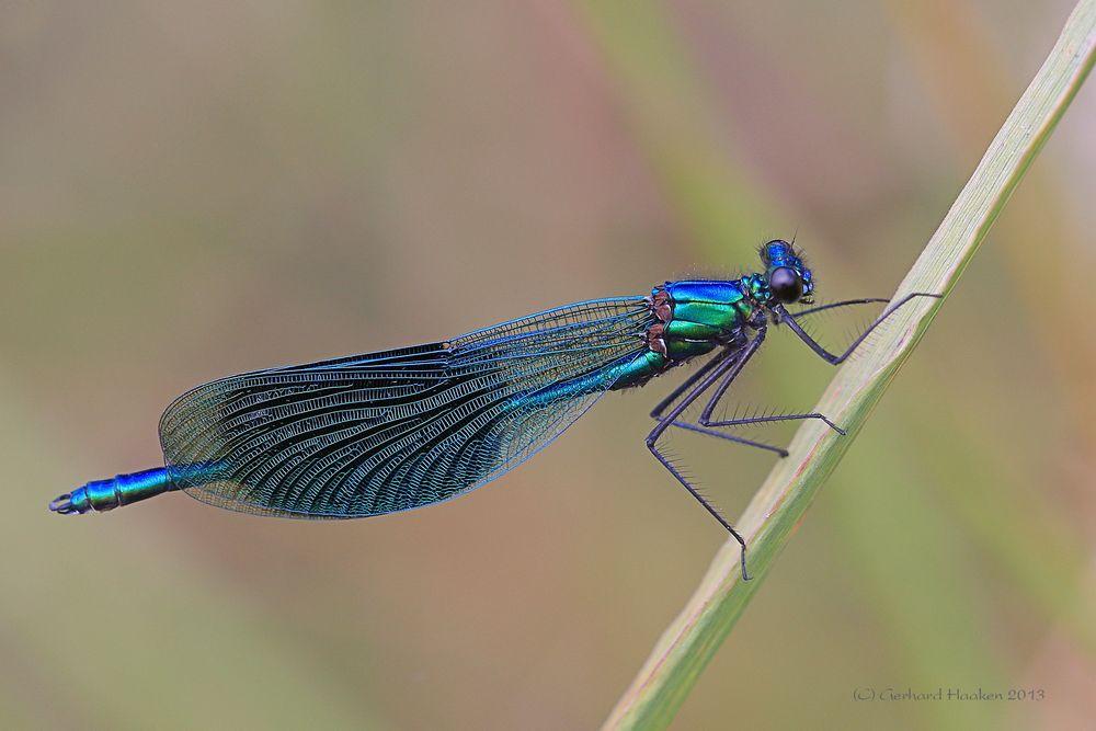 Gebänderte Prachtlibelle (Calopteryx splendens) M_